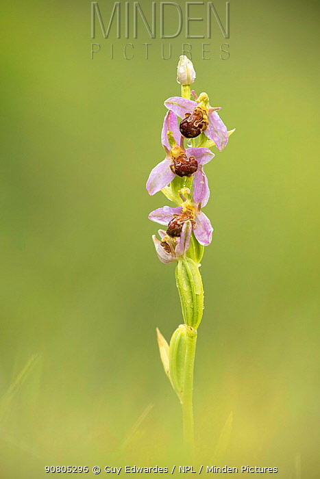 Bee orchid (Ophrys apifera), Powerstock Common, Dorset Wildlife Trust, Dorset, England, UK.