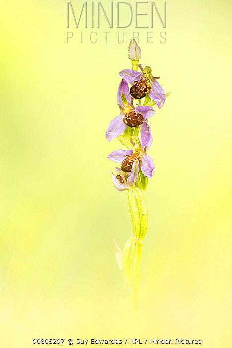 Bee orchid (Ophrys apifera), Powerstock Common, Dorset Wildlife Trust, Dorset, England, UK.