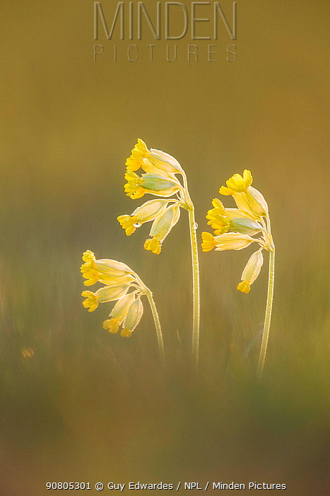 Cowslip (Primula veris), Hardington Moor NNR, Somerset