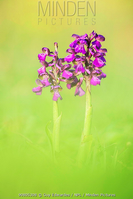 Green-winged Orchid (Orchis morio), Hardington Moor NNR, Somerset, UK.