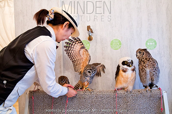 Worker at the owl cafe securing one of the owls at the Akiba Fukurou Owl Cafe in Tokyo, Japan.
