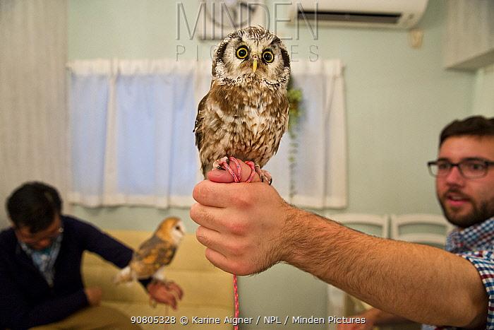 Tourist with Tengmalm's Owl (Aegolius funereus) at Akiba Fukurou Owl Cafe, Tokyo, Japan.