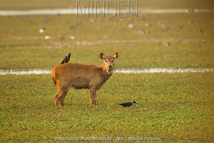 Sambar deer (Rusa unicolor) in marshy area, with house crow (Corvus splendens) on back, Keoladeo National Park, Utter Pradesh, India.