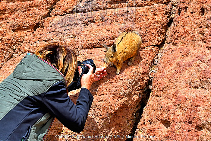 Tourist feeding and photographing Southern viscacha (Lagidium viscacia), Andes, Bolivia.