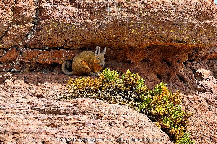 Southern viscacha (Lagidium viscacia) lying in shade of rock, Andes, Bolivia.