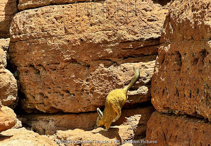 Southern viscacha (Lagidium viscacia) jumping between rocks, Andes, Bolivia.