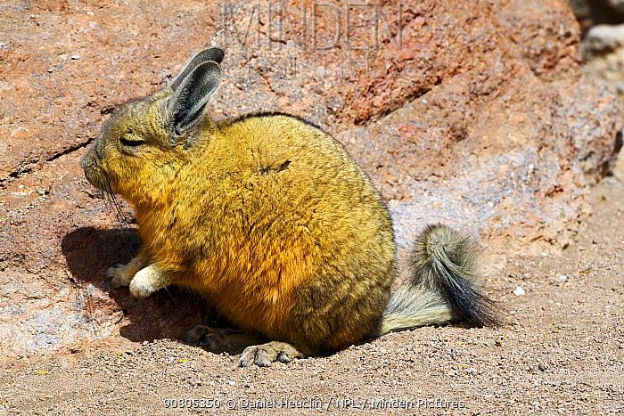Southern viscacha (Lagidium viscacia) sitting on a rock, Andes, Bolivia.