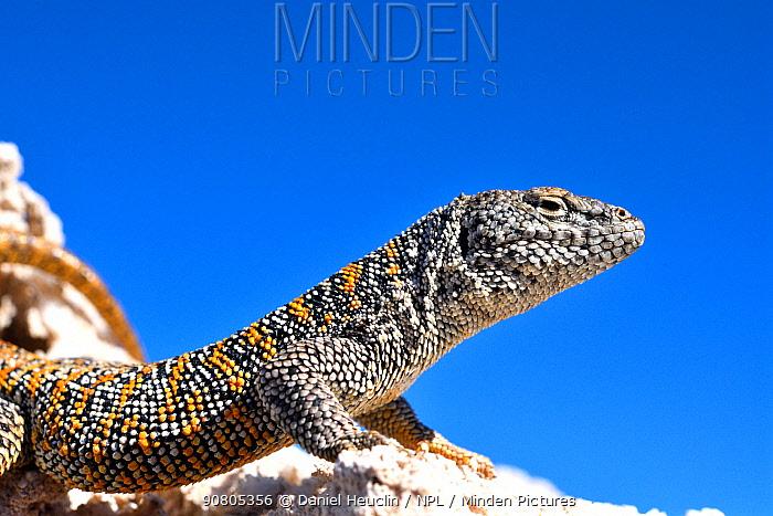 Fabian's lizard (Liolaemus fabiani) basking under blue sky, portrait. Salar de Atacama, Chile. September. Controlled conditions.