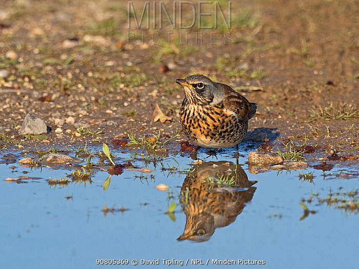 Fieldfare (Turdus pilaris) newly arrived migrant from the continent, drinking in puddle. North Norfolk, England, UK. October.