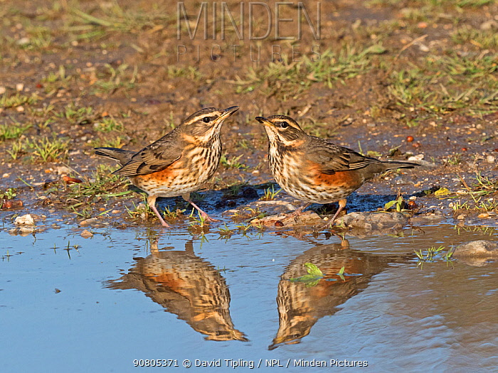 Redwing (Turdus iliacus) newly arrived migrants drinking at puddle, North Norfolk, England, UK, October.