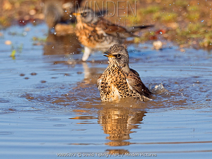 Fieldfares (Turdus pilaris), newly arrived migrants from the continent drinking and bathing in puddles, North Norfolk, England, UK, October.
