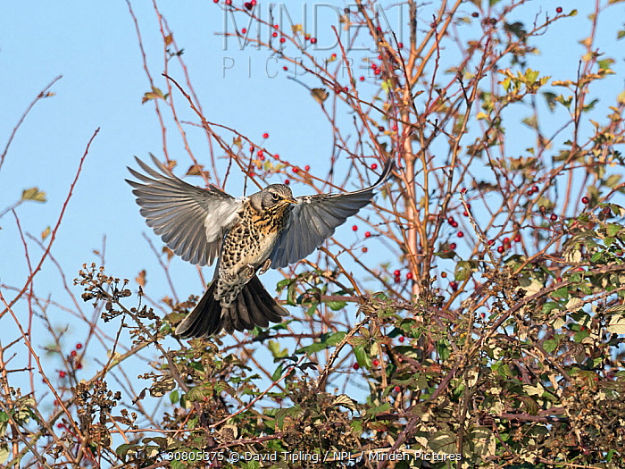 Fieldfare (Turdus pilaris) newly arrived migrant from the continent landing in hedgerow, North Norfolk, England, UK, October.