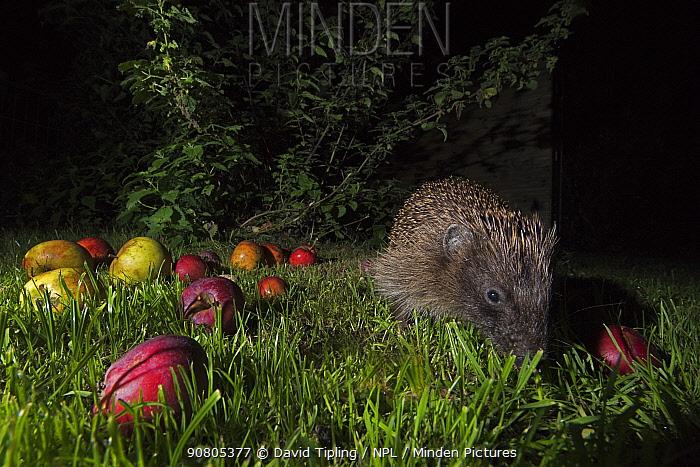 European hedgehog (Erinaceus europaeus) feeding in garden at night, Norfolk, England, UK.