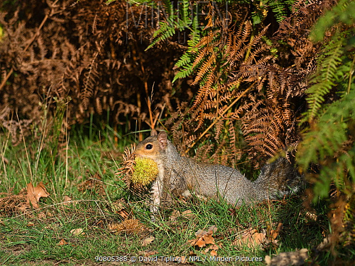 Grey squirrel (Sciurus carolinensis) collecting sweet chestnuts (Castanea sativa) to cache for winter. Richmond Park, London, England, UK. October.