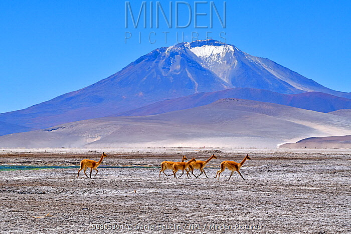 Vicuna (Vicugna vicugna), five running across salt flat with mountain in background. Salar de Ascotan, Chile. September 2018.