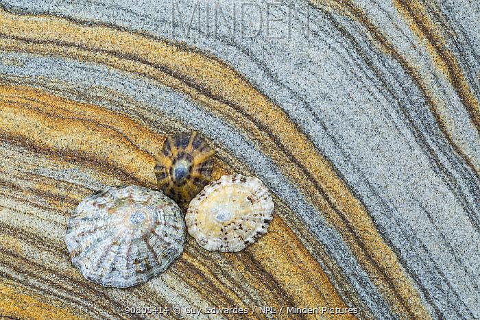 Limpets on patterned rock, Northumberland, England, UK.