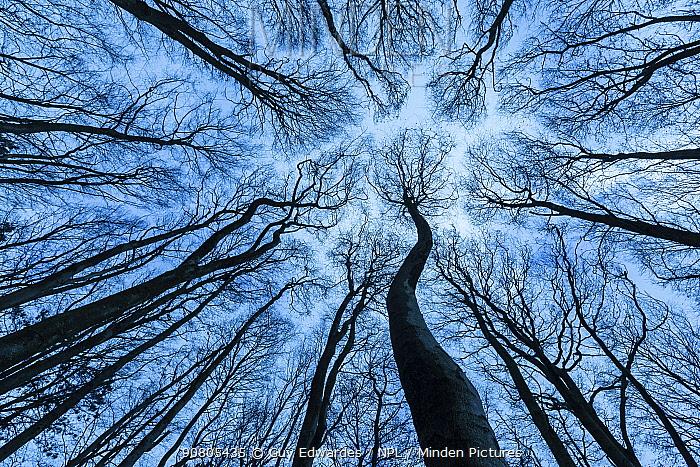Beech (Fagus sylvatica) woodland canopy in winter, Cranborne Chase, Dorset, England, UK.