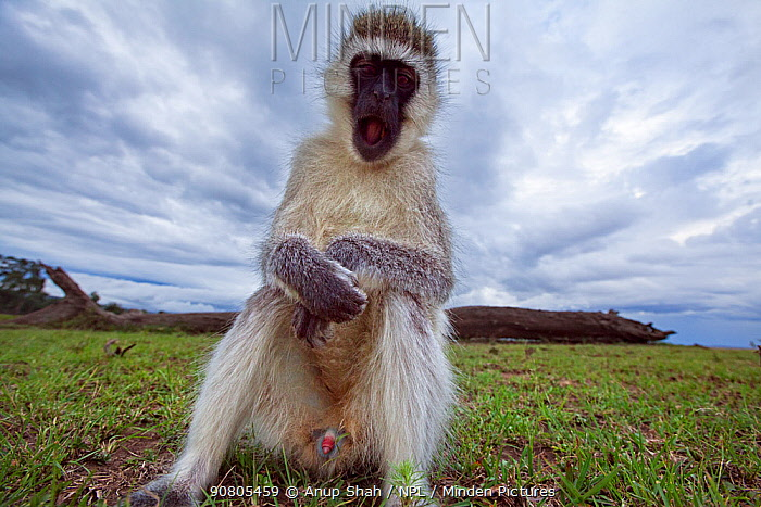 Vervet monkey (Cercopithecus aethiops) male approaching with curiosity - remote camera. Masai Mara National Reserve, Kenya..