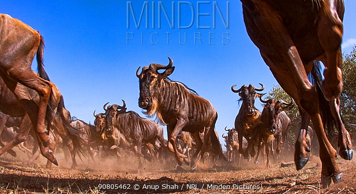 Eastern white-bearded wildebeest (Connochaetes taurinus) herd on the move - remote camera. Masai Mara National Reserve, Kenya..