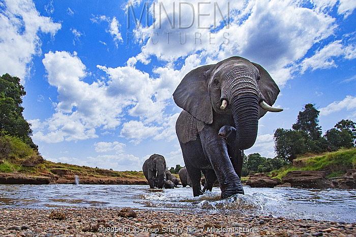 African elephant (Loxodonta africana) approaching - remote camera. Masai Mara National Reserve, Kenya.