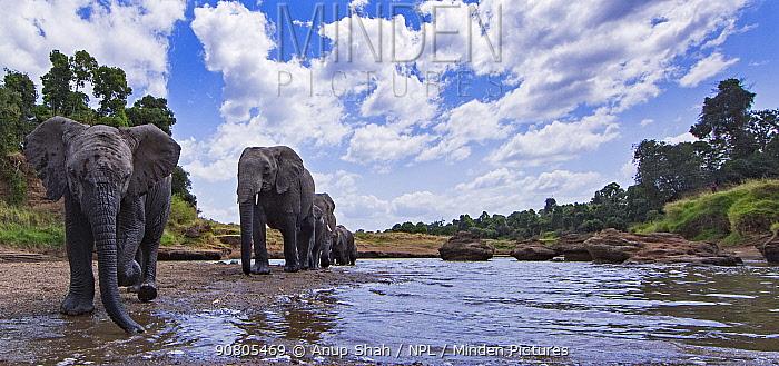 African elephants (Loxodonta africana) by water, approaching - remote camera. Masai Mara National Reserve, Kenya.