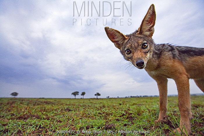 Black-backed jackal approaching with curiosity - remote camera (Canis mesomelas). Masai Mara National Reserve, Kenya.
