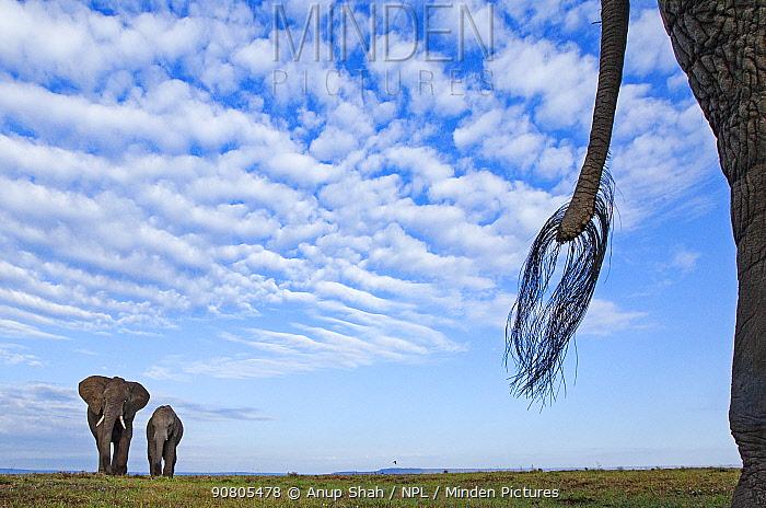 African elephants (Loxodonta africana) on the move - remote camera. Masai Mara National Reserve, Kenya.
