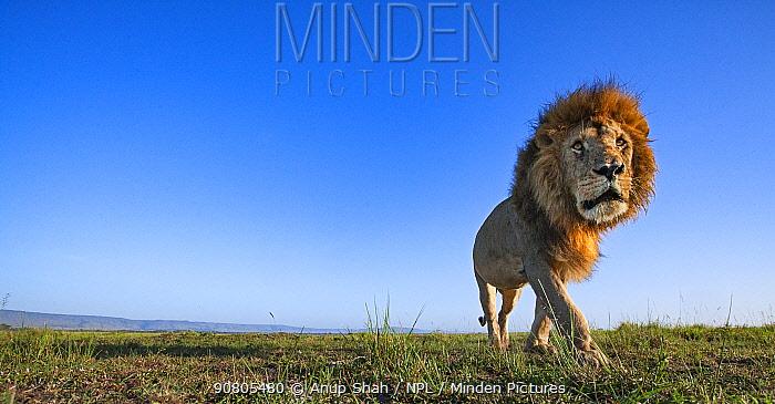 Lion (Panthera leo) male walking, remote camera. Masai Mara National Reserve, Kenya.