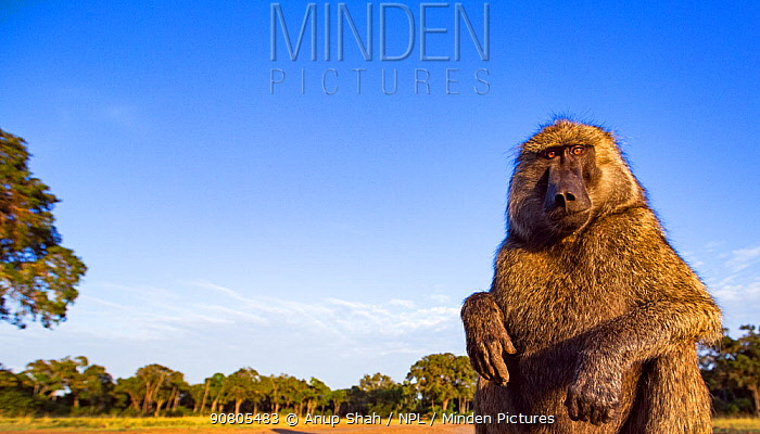Olive baboon (Papio anubis) male approaching with curiosity - remote camera. Masai Mara National Reserve, Kenya..