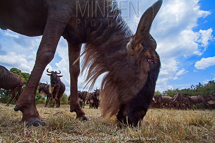 Eastern white-bearded wildebeest (Connochaetes taurinus) herd on the move, grazing - remote camera. Masai Mara National Reserve, Kenya..
