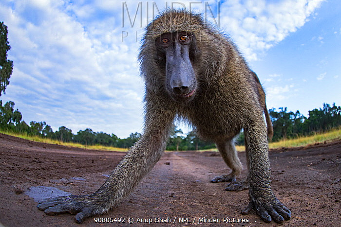 Olive baboon (Papio anubis) male approaching with curiosity - remote camera. Masai Mara National Reserve, Kenya.