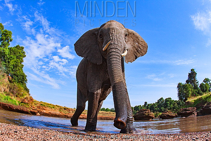 African elephant (Loxodonta africana) near water approaching - remote camera. Masai Mara National Reserve, Kenya. August 2015.