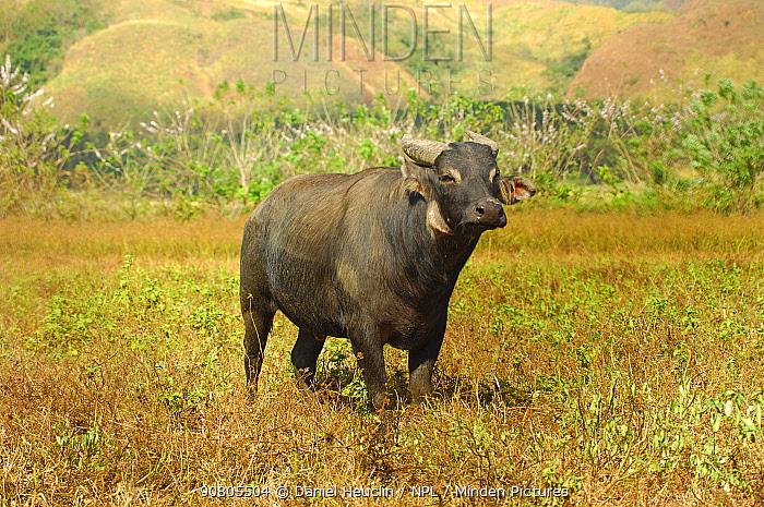 Tamaraw (Bubalus mindorensis) , first individual born in captivity, Tamaraw Gene Pool Farm, Mindoro, Philippines. Critically endangered, endemic species.