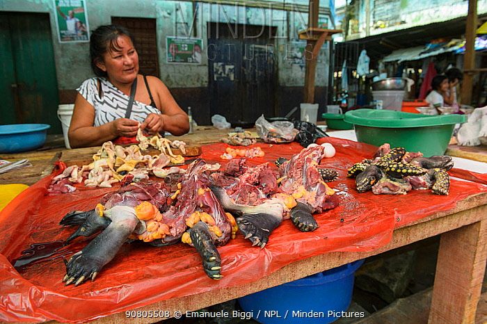Various pieces of different endangered tortoises and terrapin species from the Amazon basin are sold int the Belen market, Iquitos, Peru. July 2014.