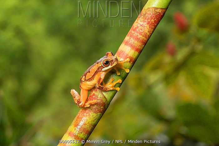 Hourglass tree frog (Dendropsophus ebraccatus) adult, humid lowland forest, Costa Rica