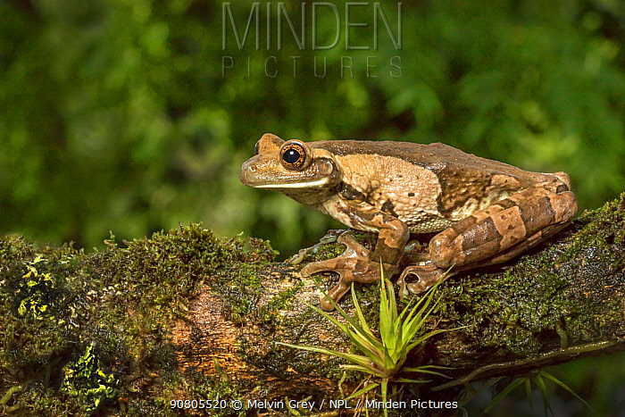 Milk frog (Trachycephalus typhonius), this species produces irritating secretions. Arenal, Pacific lowlands, Costa Rica
