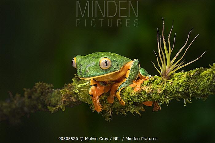 Splendid leaf frog (Cruziohyla calcarifier) male Atlantic Lowland Rainforest, Costa Rica. Controlled conditions.