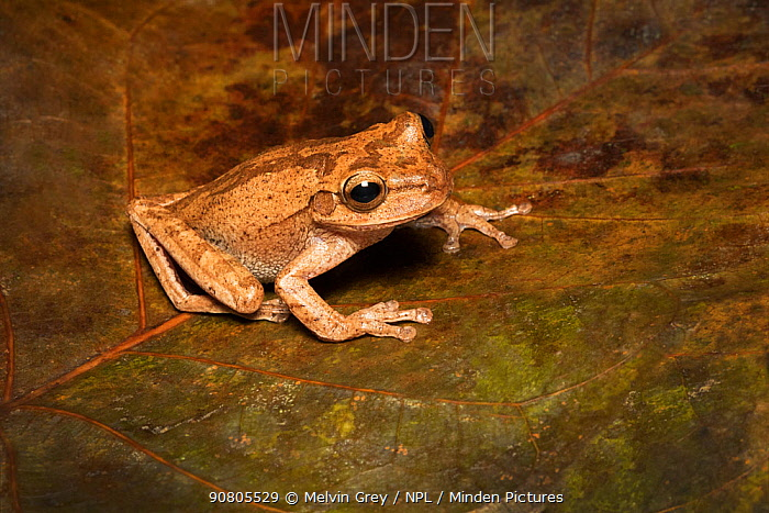 Tawny tree frog (Smilisca puma) adult. Lowland Rainforest, Costa Rica. Controlled conditions.