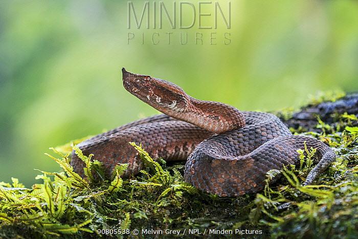 Hog-nosed pit viper (Porthidium nasutum)  Atlantic Lowland Rainforest, Costa Rica.