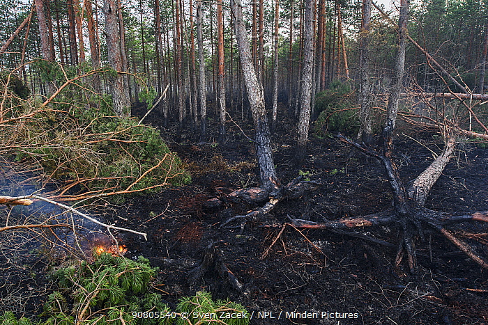 Fire damage in coniferous forest as a result of lightning strike in dry summer. Alam-Pedja Nature Reserve, Jogevamaa, Southern Estonia. August 2018.