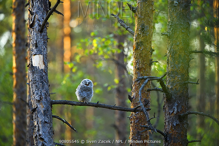 Ural owl (Strix uralensis) fledgling chick perched on Pine (Pinus sp) branch in coniferous forest. Tartumaa, Southern Estonia. June.