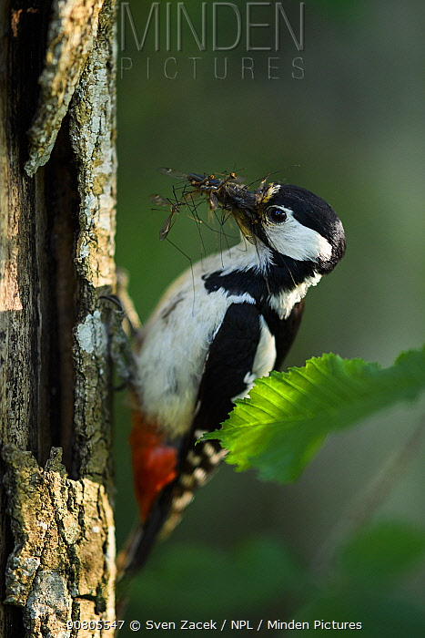 Great-spotted woodpecker (Dendrocopos major) with insects in beak to feed to chicks. Tartumaa, Southern Estonia. May.