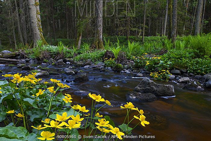 Marsh marigold (Caltha palustris) flowering along Altja river, Lahemaa National Park, Laane-Virumaa, Northern Estonia. May.