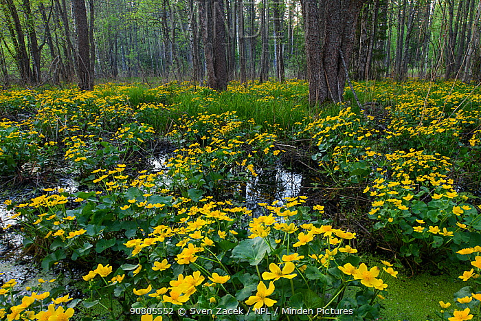 Marsh marigold (Caltha palustris) flowering in swamp forest. Lahemaa National Park, Harjumaa, Northern Estonia. May.