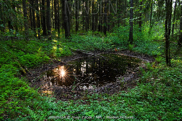 Reflection of sun in forest pool. Haanja Nature Park, Vorumaa, Southern Estonia. May.