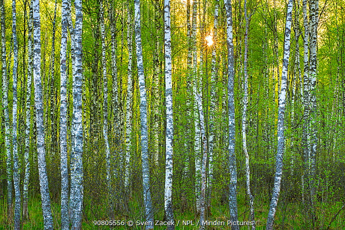 Birch (Betula) forest with spring growth, in evening. Alam-Pedja Nature Reserve, Tartumaa, Southern Estonia. May.