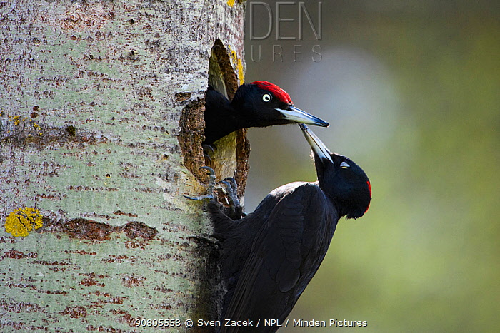 Black woodpecker (Dryocopus martius) female greeting mate during nest hole excavation in Aspen (Populus tremula) tree. Tartumaa, Southern Estonia. May.