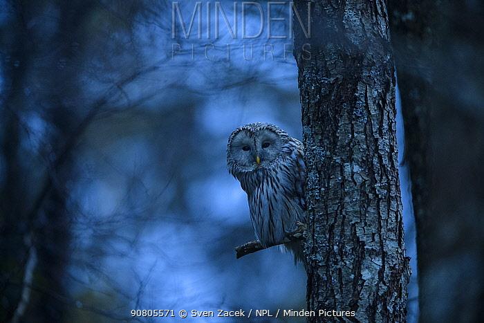 Ural owl (Strix uralensis) perched on Alder (Alnus sp) tree at dusk. Tartumaa, Southern Estonia. April.