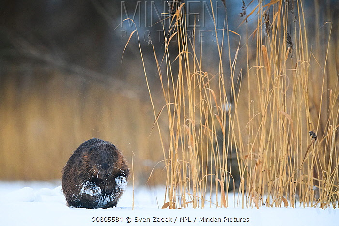 Eurasian beaver (Castor fiber) on ice besides reeds in Emajogi River, Tartumaa, Southern Estonia. January.