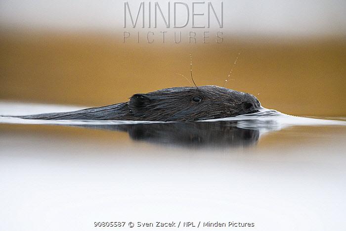 Eurasian beaver (Castor fiber) swimming with head above water in Suur Emajogi River. Tartumaa, Southern Estonia. January.